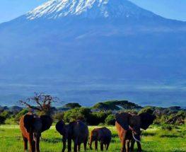 الفيلة في كينيا