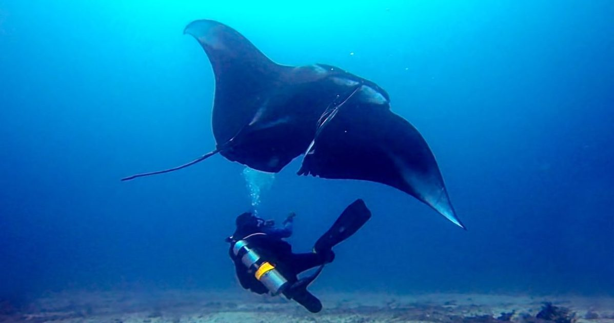 Dive with Manta Ray in Indonesia