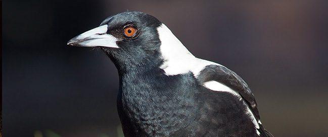 Saluting a magpie, England