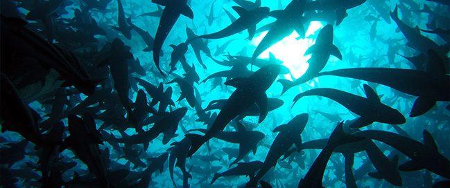 جزر هاواي - السباحة مع أسماك شيطان البحر