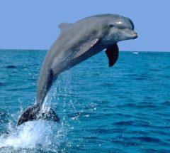 Dolphin in Bahrain