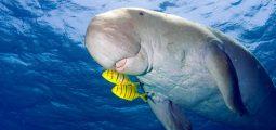 اكتشف بقر البحر المائي في البحرين