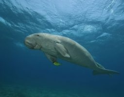 A Searching Cruise for the Dugong