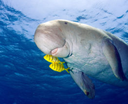 Discover the Dugong Animal in Bahrain
