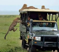 Unique safari tour at Masai Mara Interactive & Lake Nakuru