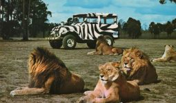 Living among Lions in a unique safari tour for 5 days