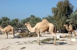 Visit the Royal Camel farm