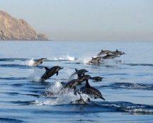 شاهد الدلافين الجميلة تسبح في مياه عمان