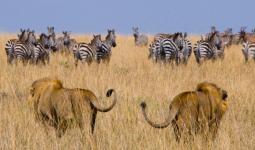 رحلة لمدة 3 أيام إلى أكبر محمية للحياة البرية في إفريقيا - ماساي مارا