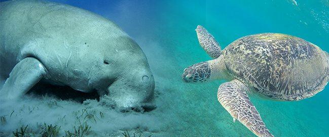حقائق عن السلاحف البحرية وأبقار البحر في خليج أبو دباب